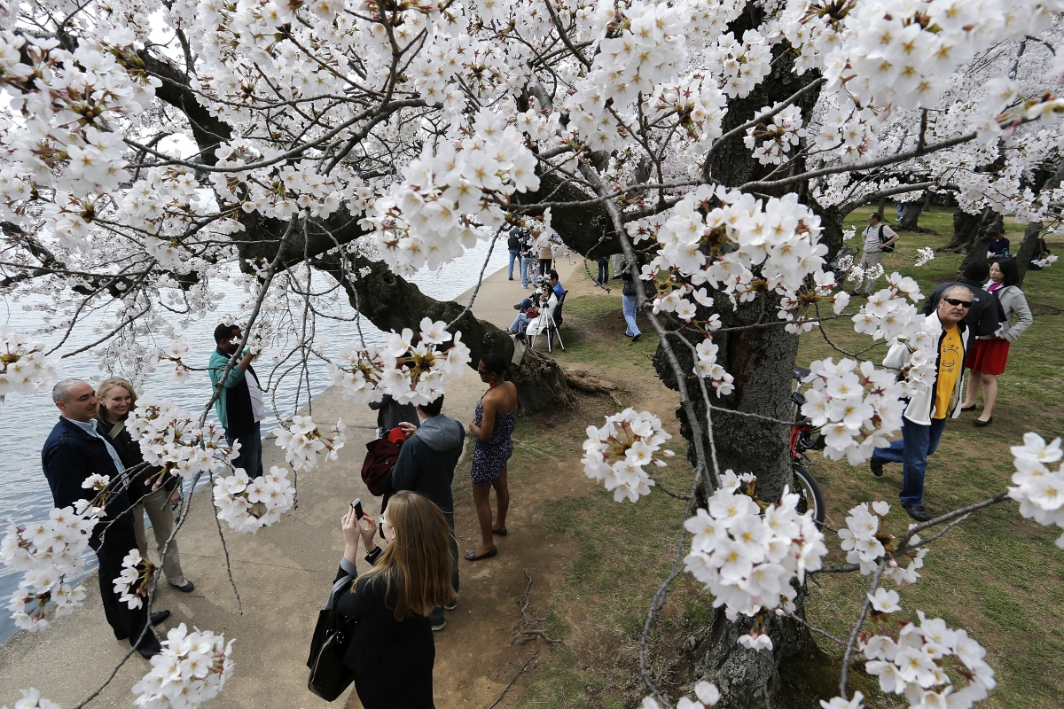 People enjoy the famed cherry blossoms along the Tidal Basin in Washington.