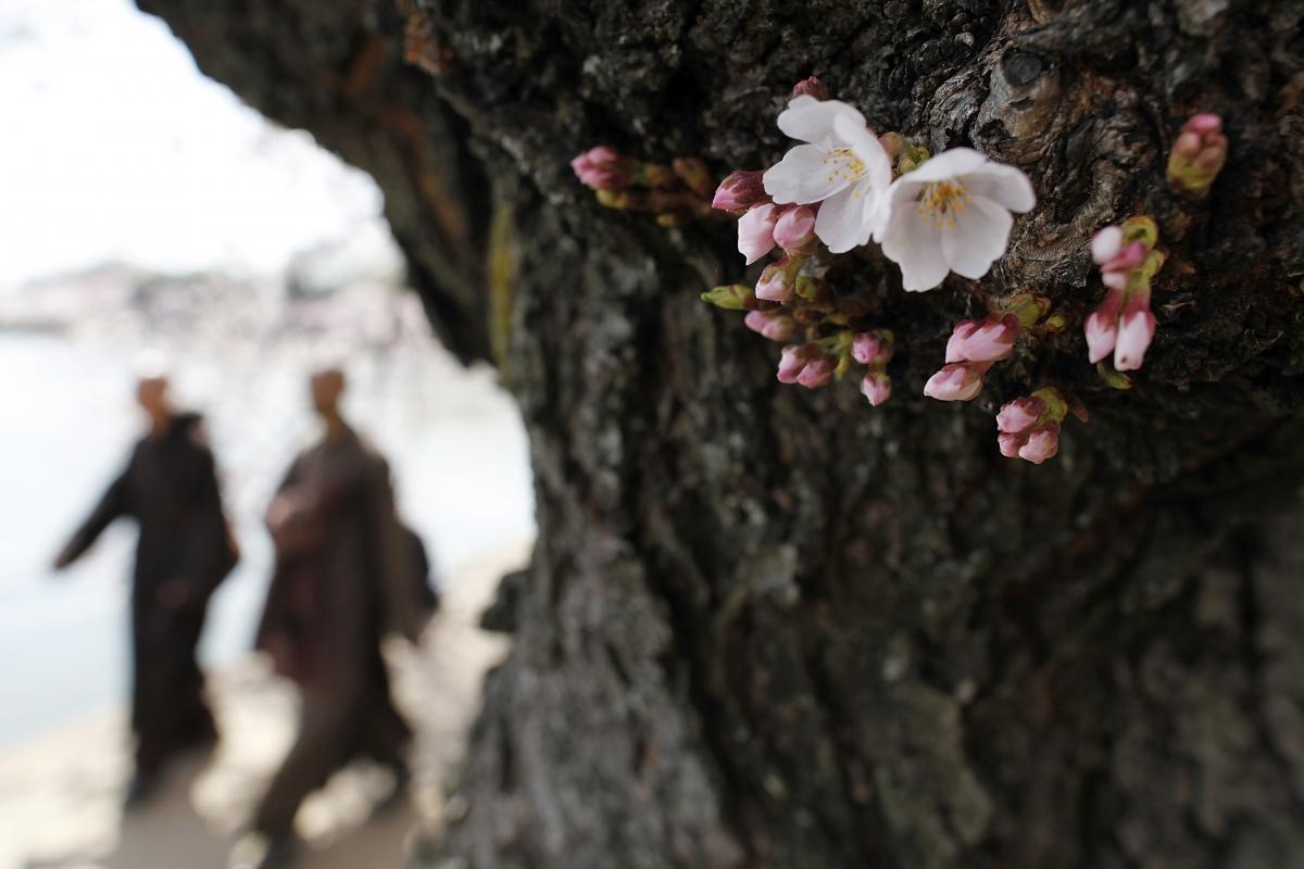 The famed cherry trees blossom along the Tidal Basin in Washington.