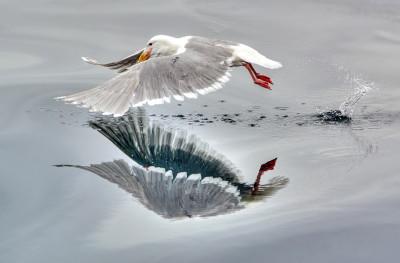 natural gull