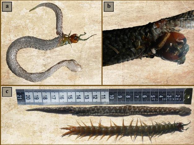 centipede and snake