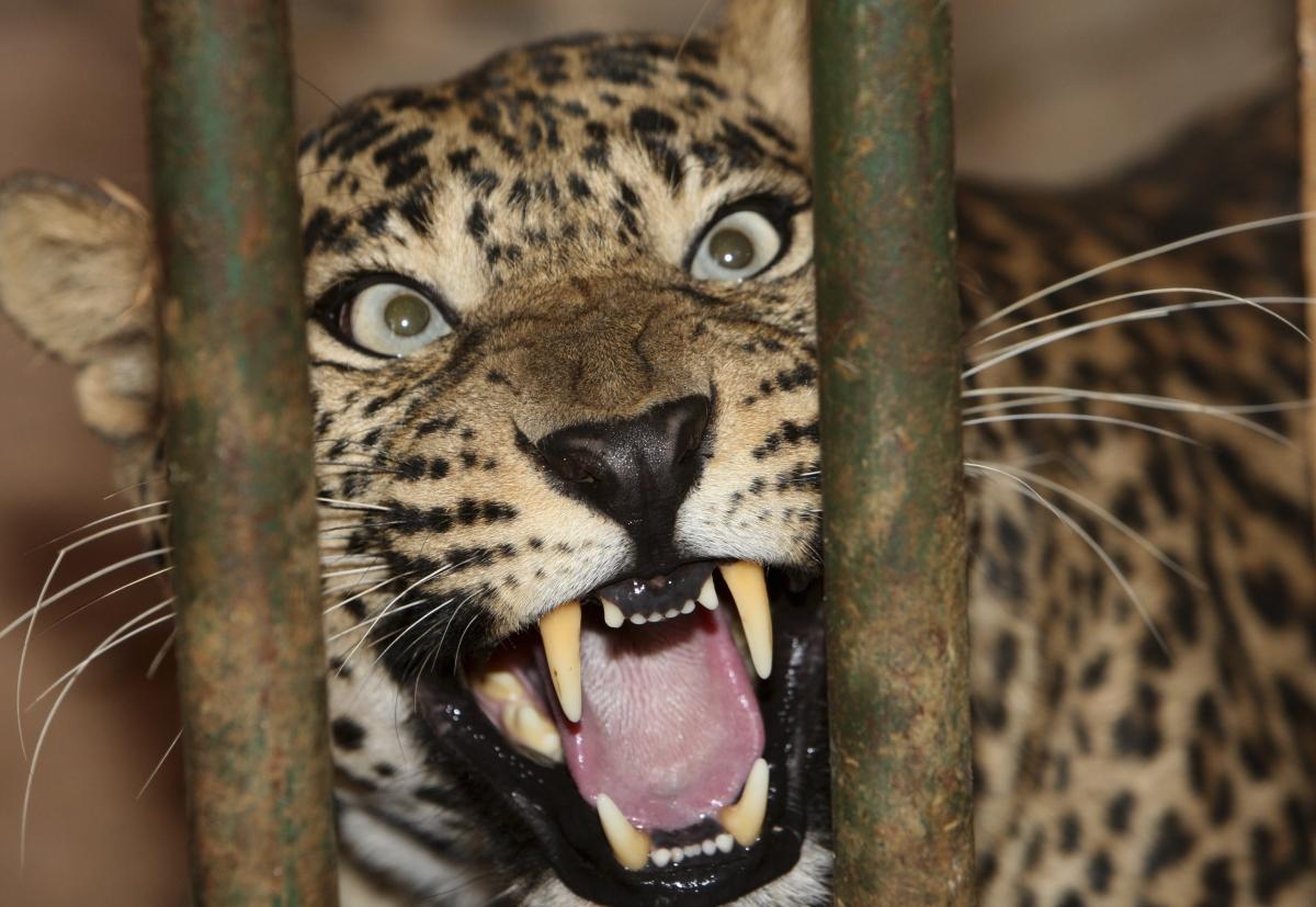 India Leopard Attacks Man As It Runs Through Village