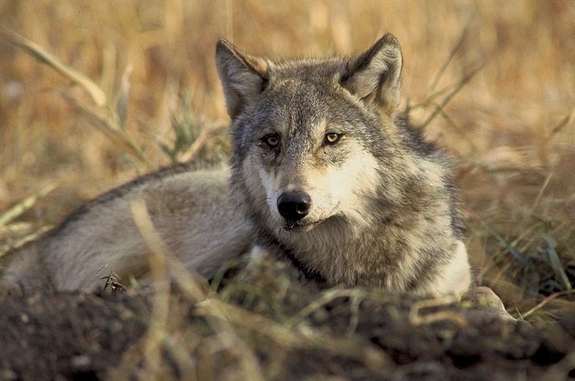 Endangered, threated gray wolf (Canis lupus)