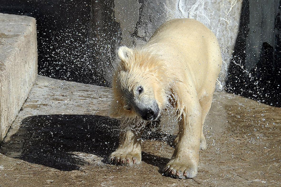water shake cub