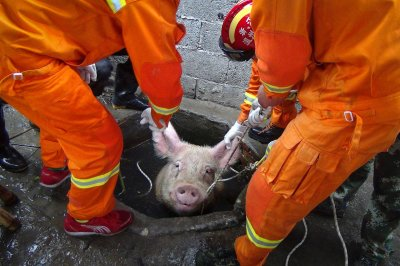 pig in a well