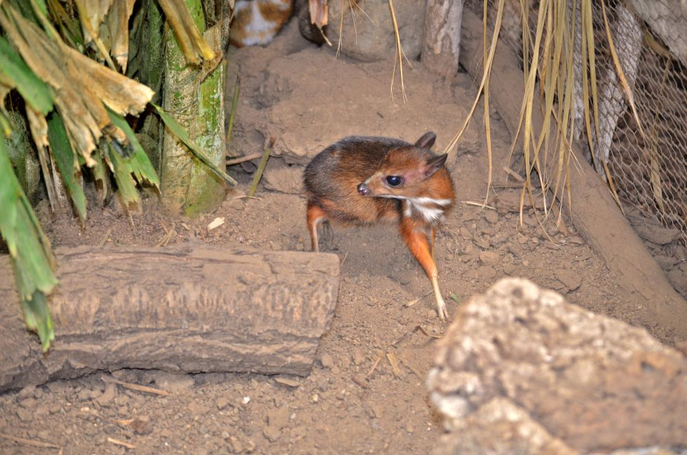 Endangered Java Mouse-Deer Born in Captivity in Spanish Zoo