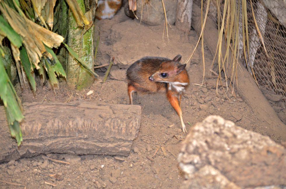 Baby Java mouse-deer