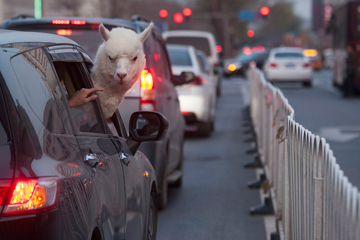 alpaca car