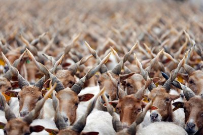 sheep horms