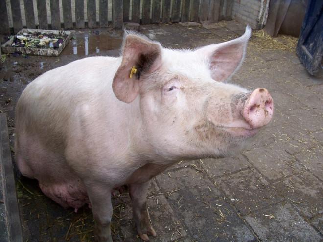 China Principal kisses pig