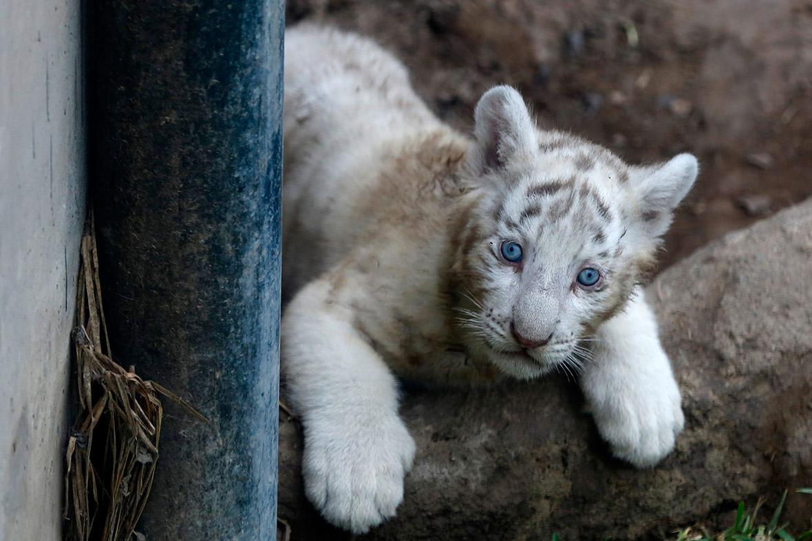 white bengal tiger cub