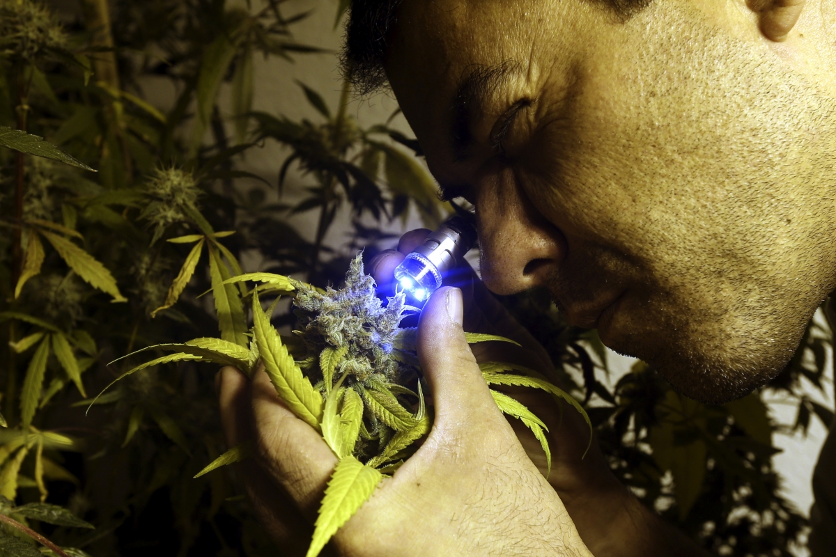 A marijuana cultivator inspects a flowering plant in Montevido, Uruguay (Reuters)