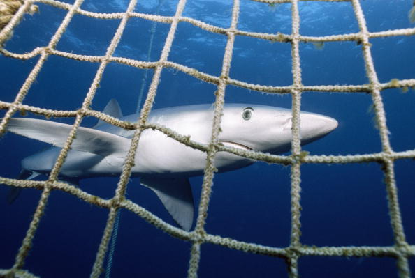 Netted Blue shark. (Getty)