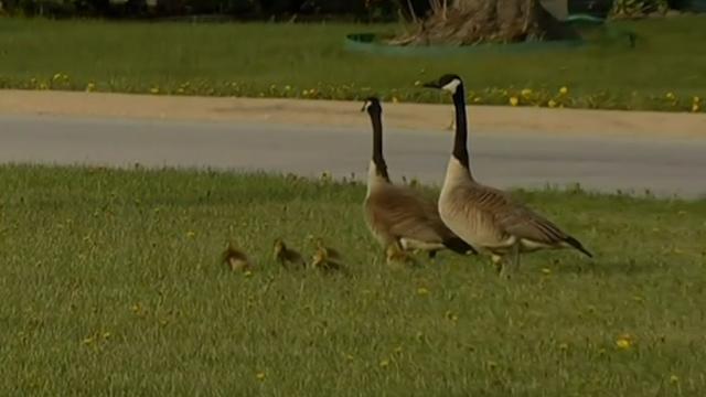 Highway Gets Shutdown as Geese Cross the Road