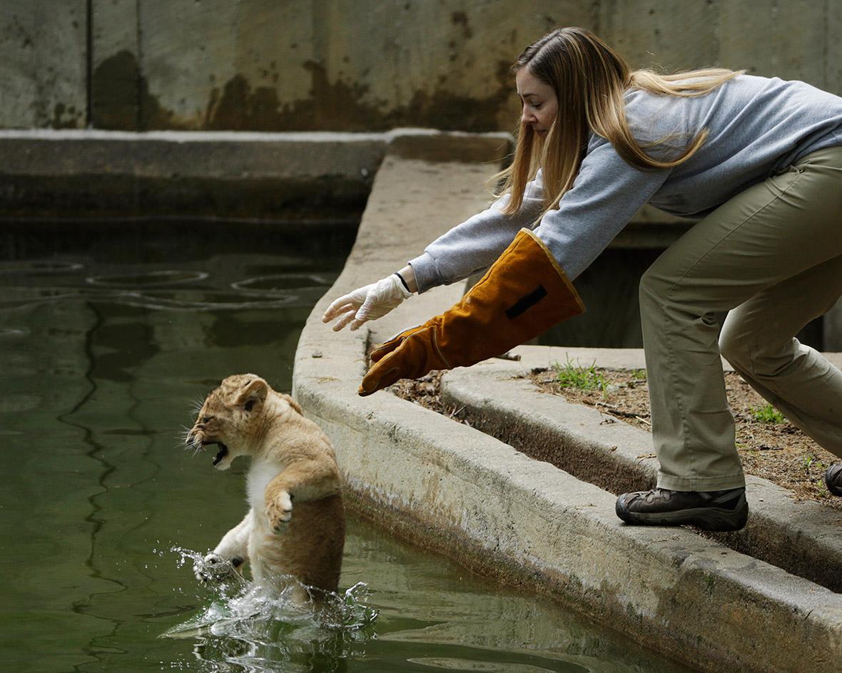 lion swim