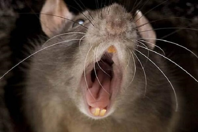 Cannibal rats in Leicester