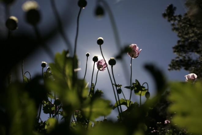 A poppy field in Sinaloa, Mexico (Reuters)