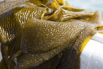 kelp watch
