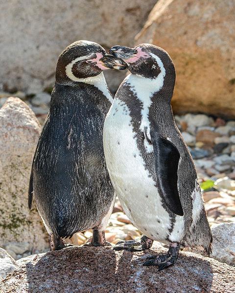 Humboldt's Penguin