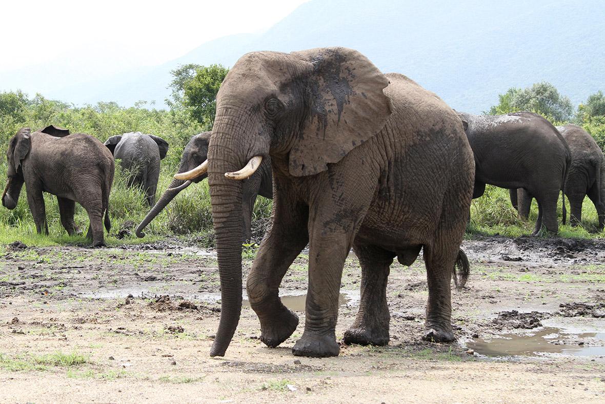 elephants congo