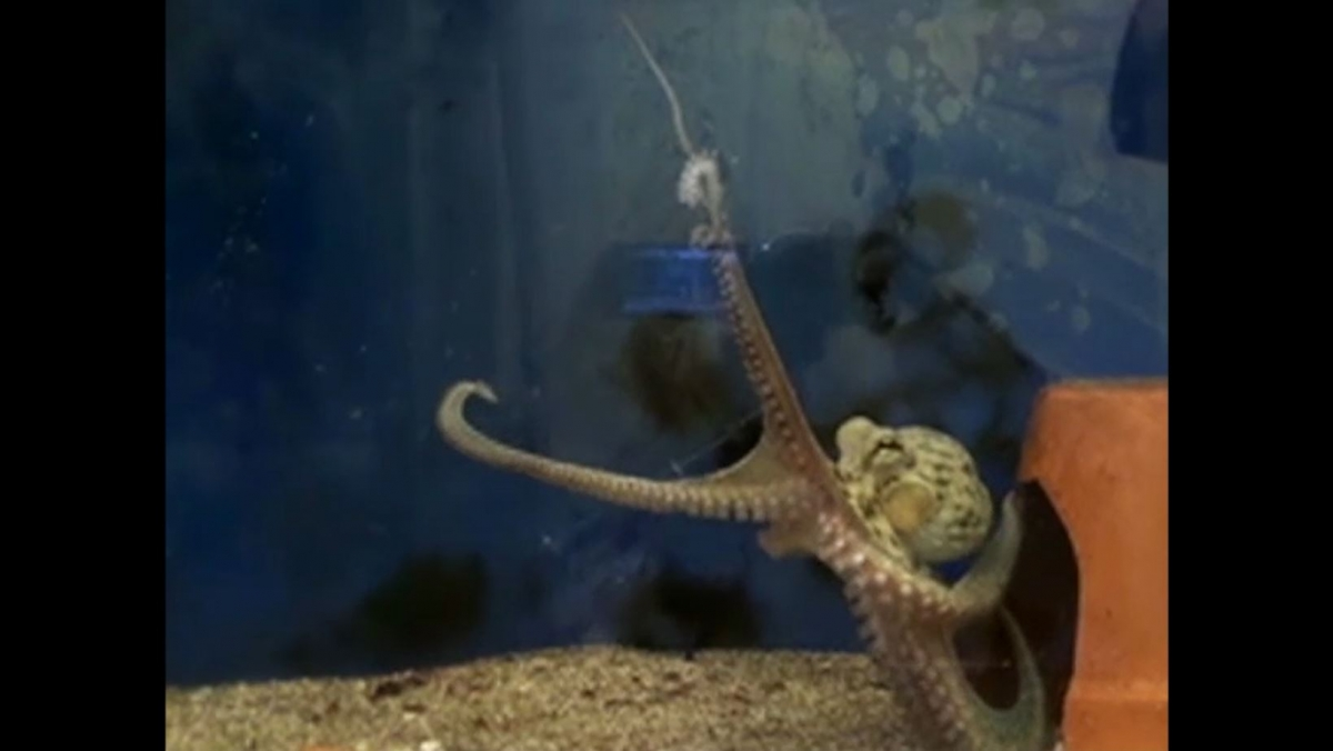 Mystery of How Octopuses Don't Tie Themselves in Knots Solved