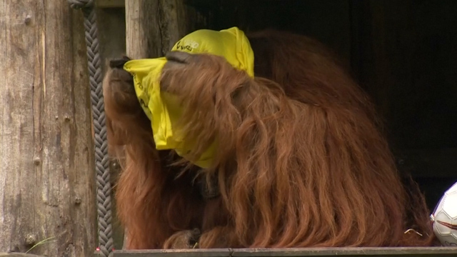 Orangutan Predicts Outcome of German Cup Final