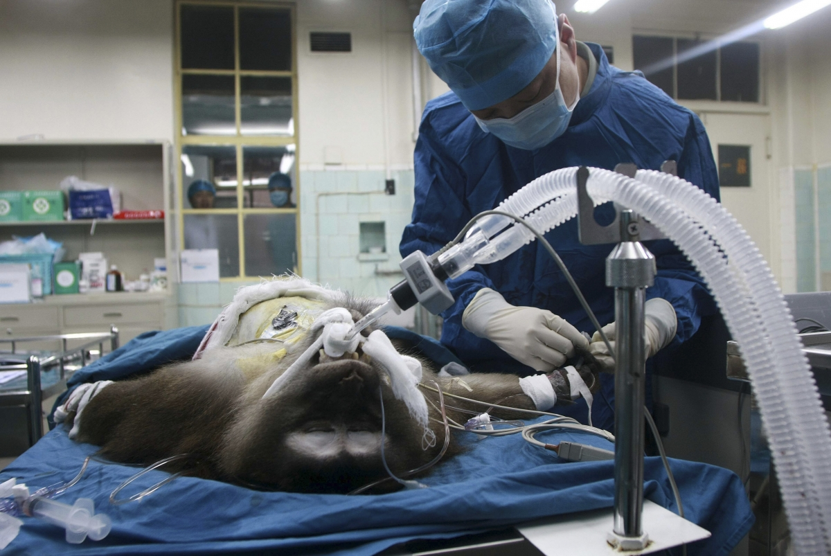 A Tibetian Macaque is given a liver tranplant from a pig, in an experiment in China last year. (Reuters)