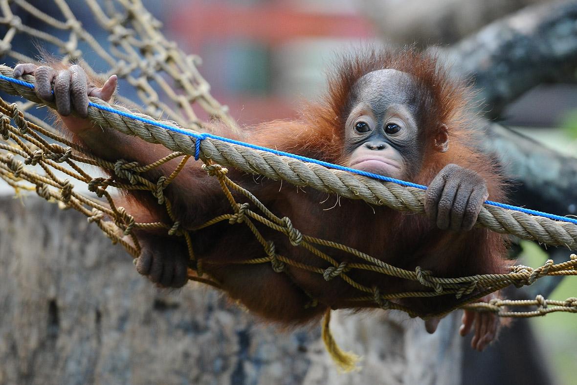 baby orangutans