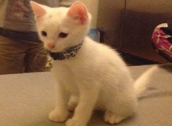 Police have appealed for help catching whoever hanging tiny white kitten, Sono, in Wimbledon