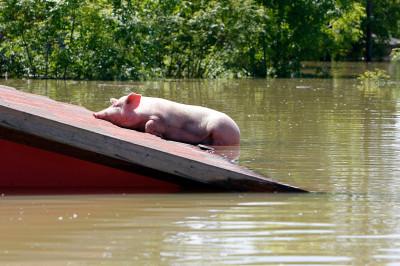 bosnia pig