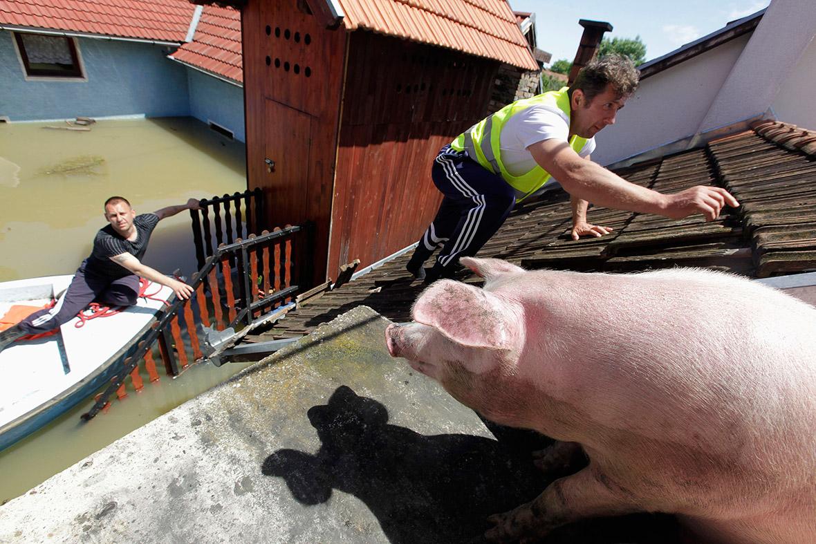 bosnia pigs