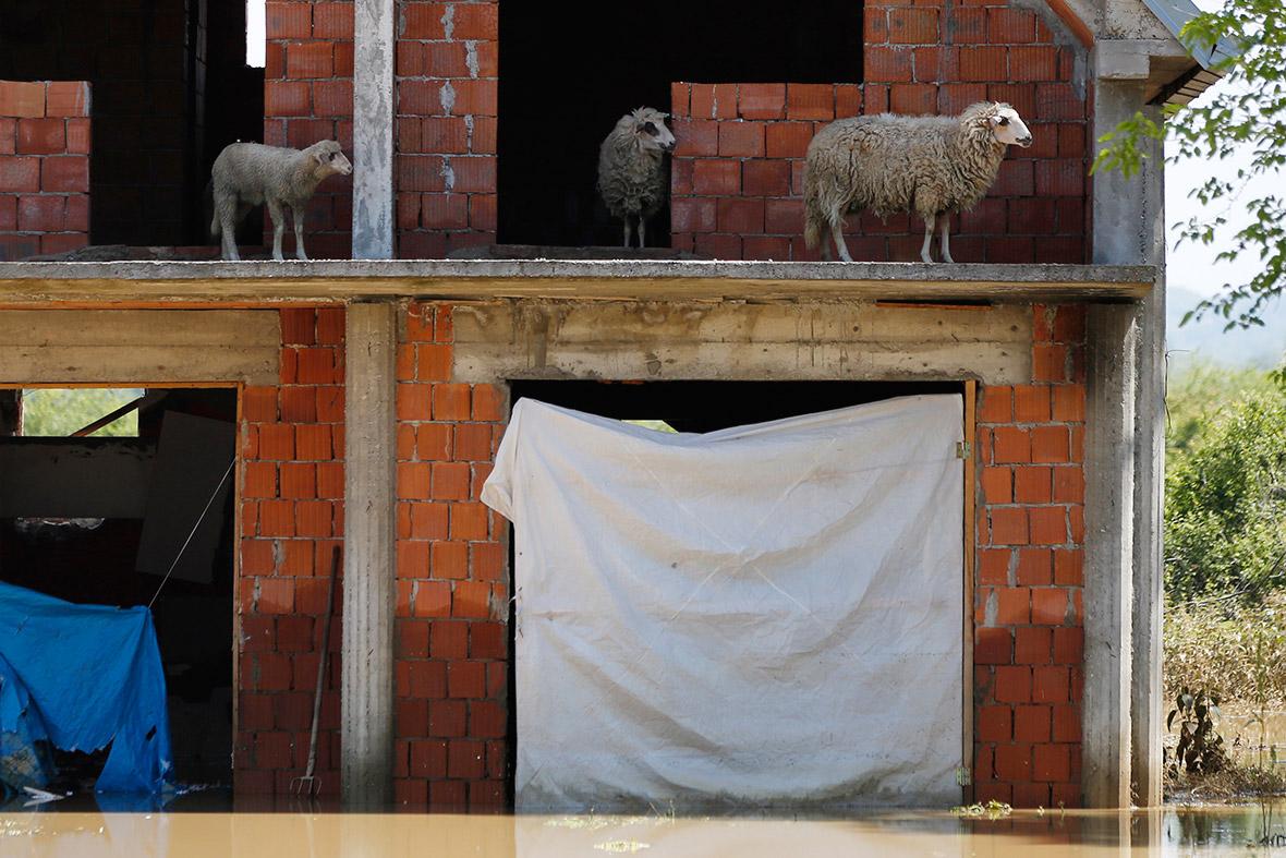 serbia sheep
