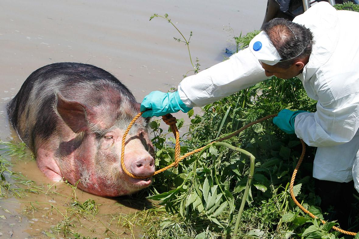 floods pig