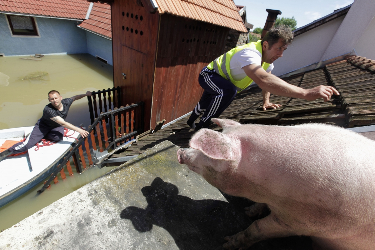 A man climbs on the roof of a house to feed pigs they rescued during heavy floods in the village of Vojskova