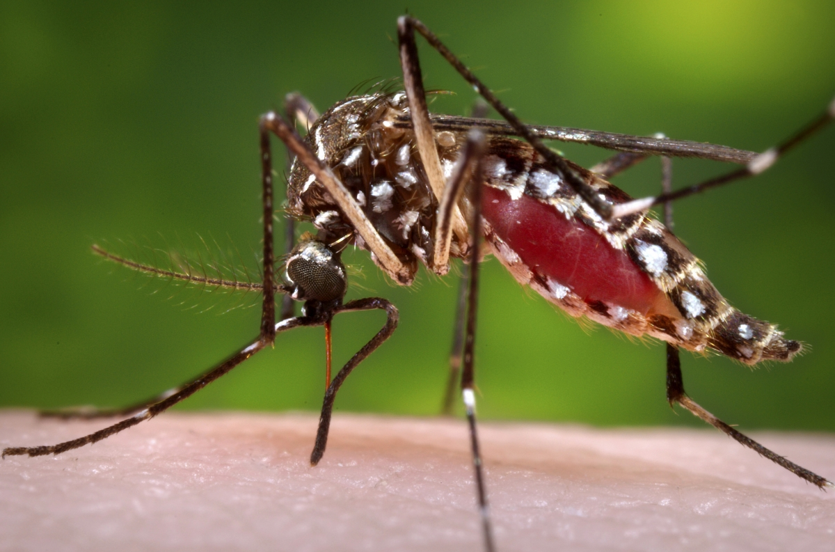 A female Aedes aegypti mosquito can carry potentially deadly diseases as dengue fever