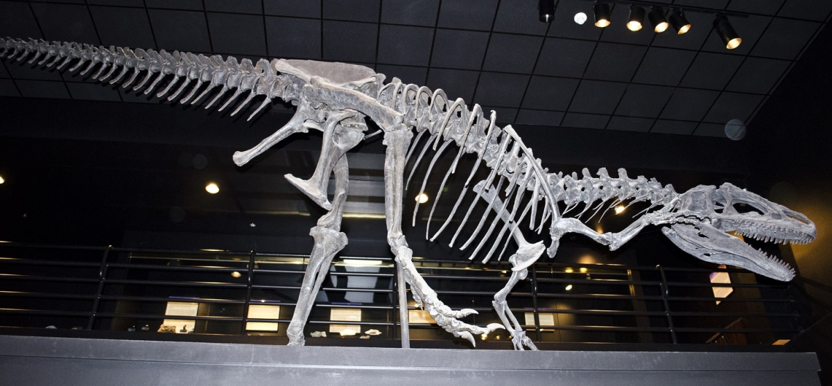 An allosaurus fossil specimen at the Rockies Museum