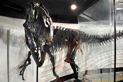 Ebenezer, the allosaurus fossil on display at the Creation Museum in Kentucky