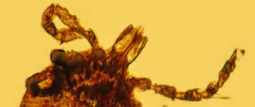 A 15 million-year-old tick fossilised in a piece of amber