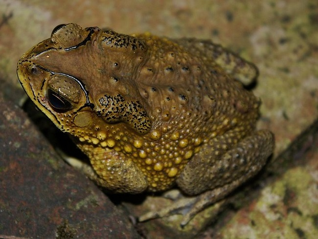 Asian common toads are threatening species in Madagascar
