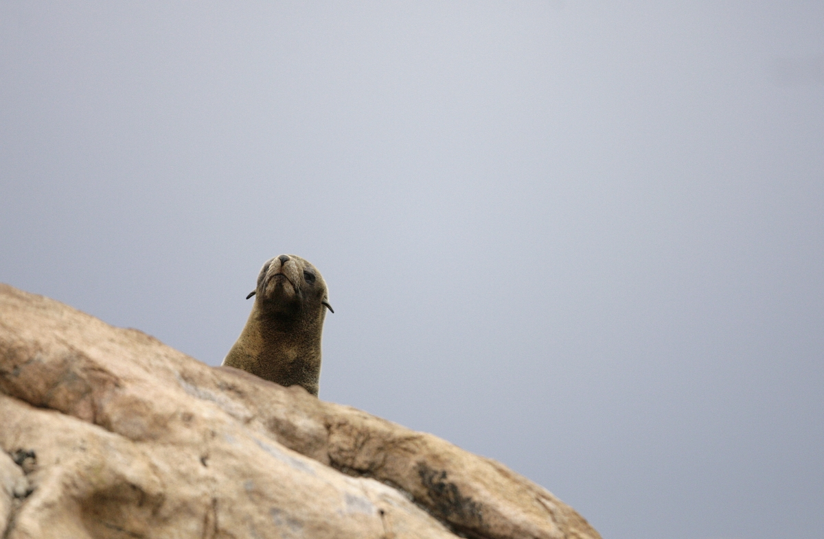 An adult fur seal on an island off the South American coast. (Reuters)
