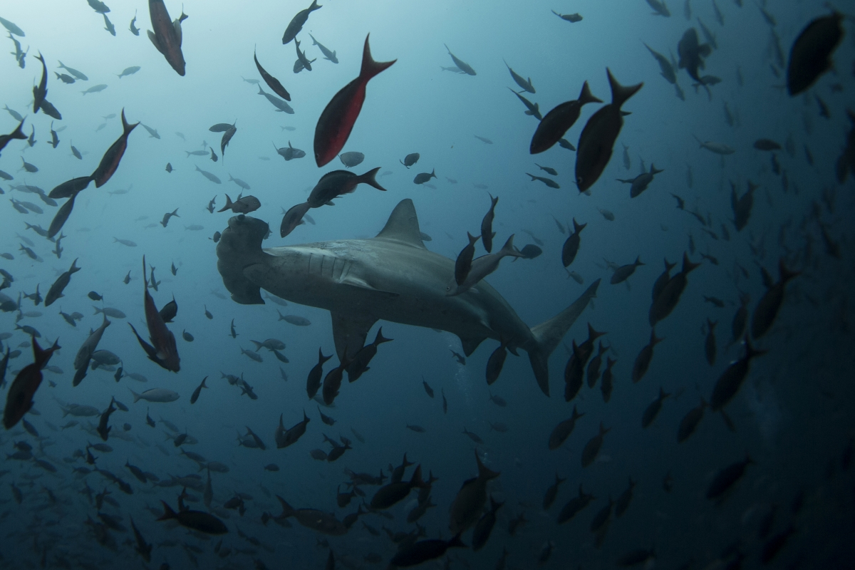 A hammerhead shark swims close to Wolf Island at Galapagos Marine Reserve August 19, 2013.