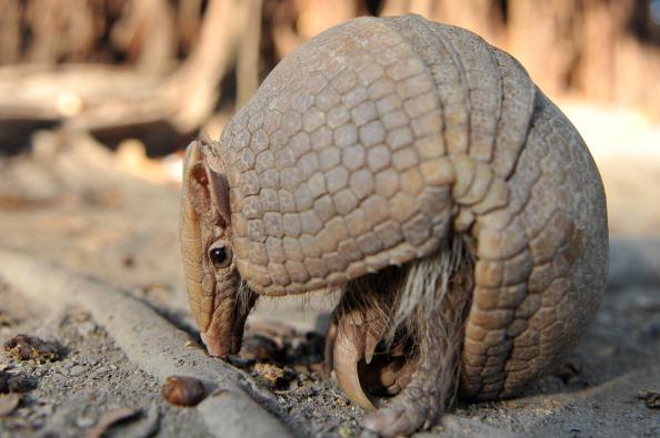 Brazilian armadillo