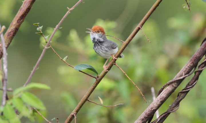 Cambodian tailorbird