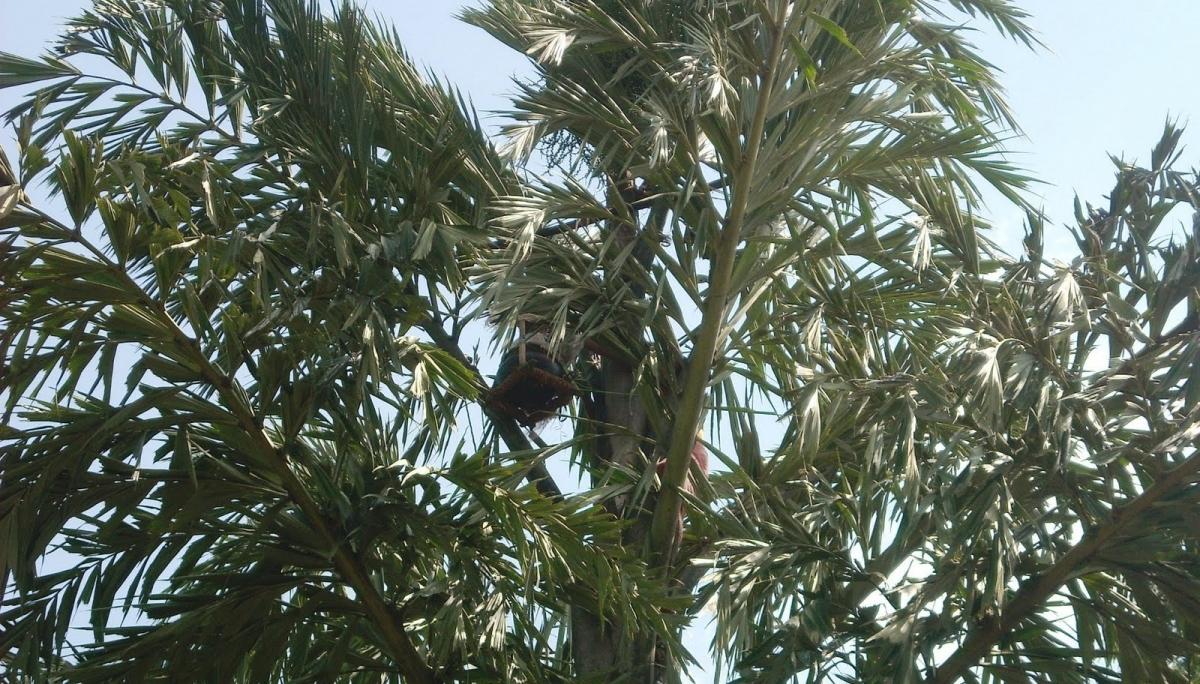 Salfi trees in India