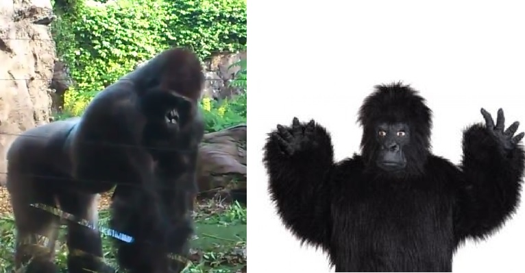 Real and fake gorilla: Here is a handy reference for the vet Loro Parque Zoo. Can you spot the impostor