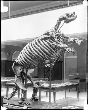 giant sloth skeleton