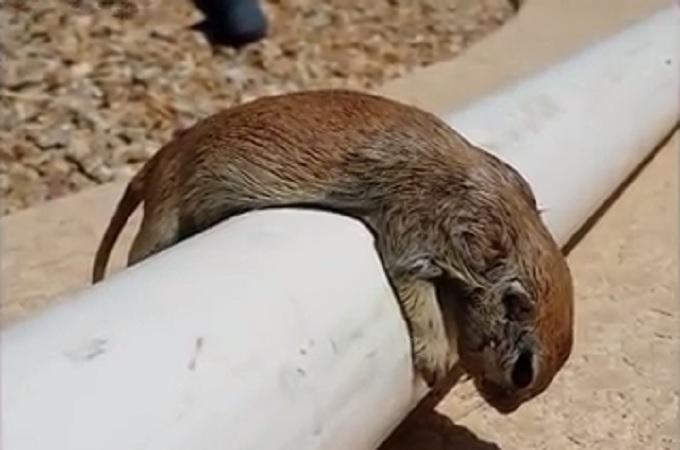 drowned squirrel