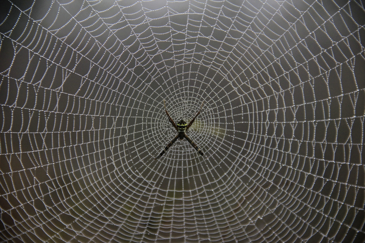 A spider weaves its web on tree during the early morning in the eastern Indian state of Odisha  (Reuters)