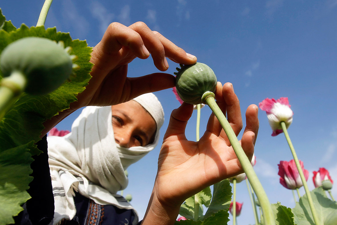 afghanistan poppies child labour