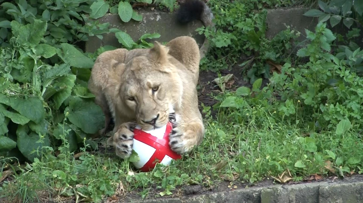 Three Lions Play Football in London Zoo to Celebrate Start of World Cup