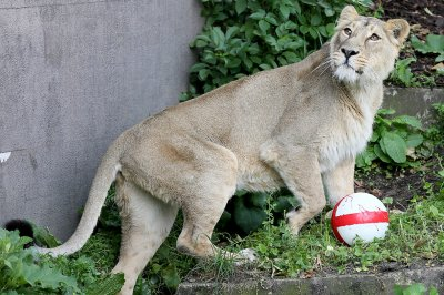 world cup lion